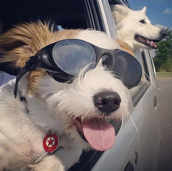 mascotas_famosas_instagram_perro_ginny_jrt_2